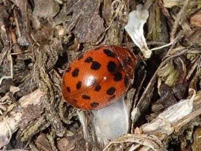 Subcoccinella vigintiquatuorpunctata [Famille : Coccinellidae]