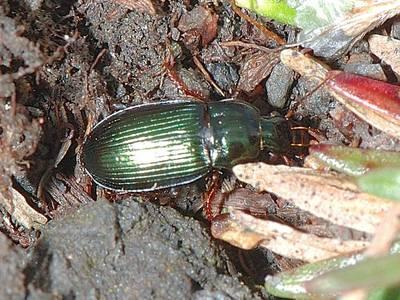 Harpalus rubripes [Famille : Carabidae]