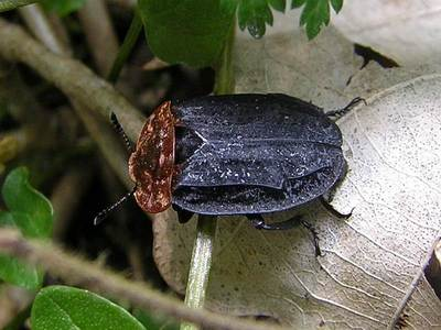 Oiceoptoma thoracicum [Famille : Silphidae]