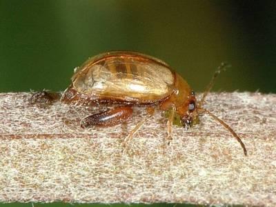 Longitarsus tabidus [Famille : Chrysomelidae]