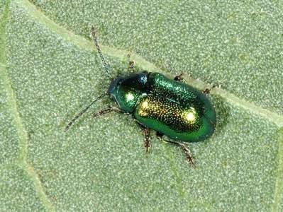 Gastrophysa viridula [Famille : Chrysomelidae]