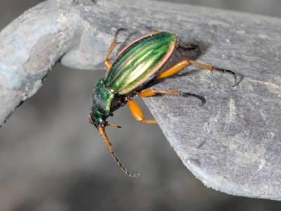 Carabus auratus [Famille : Carabidae]