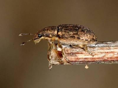Sitona humeralis [Famille : Curculionidae]