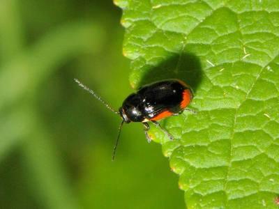 Cryptocephalus moraei [Famille : Chrysomelidae]