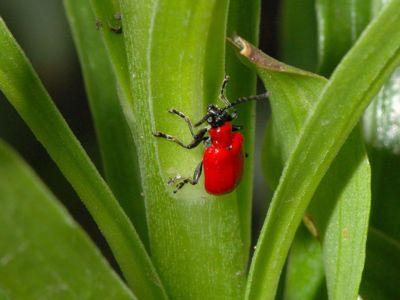 Lilioceris lilii [Famille : Chrysomelidae]