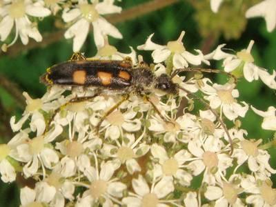 Anoplodera sexguttata [Famille : Cerambycidae]