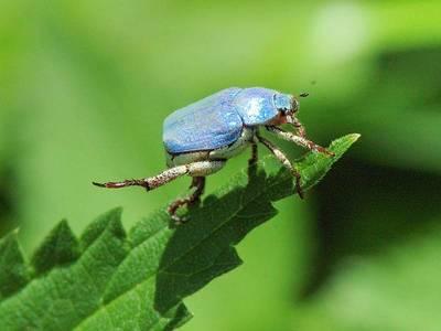 Hoplia caerulea ou H. coerulea [Famille : Scarabaeidae]