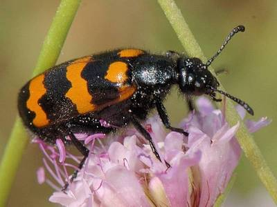 Mylabris variabilis [Famille : Meloidae]