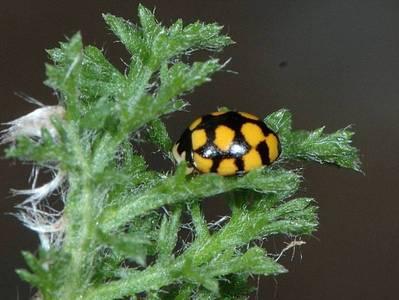 Coccinula quatuordecimpustulata [Famille : Coccinellidae]