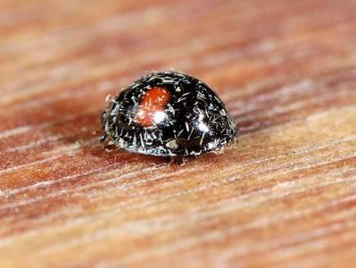 Chilochorus renipustulatus [Famille : Coccinellidae]