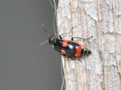 Anthocomus fasciatus [Famille : Malachiidae]