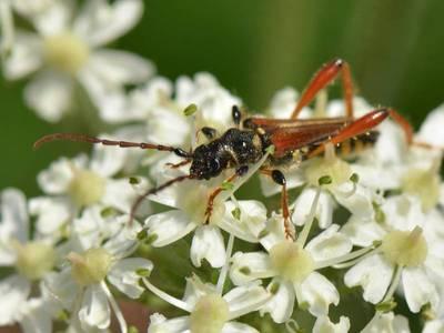 Stenopterus rufus [Famille : Cerambycidae]