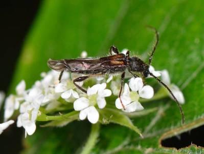 Glaphyra umbellatarum [Famille : Cerambycidae]