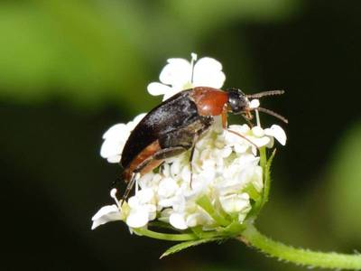 Mordellochroa abdominalis [Famille : Mordellidae]