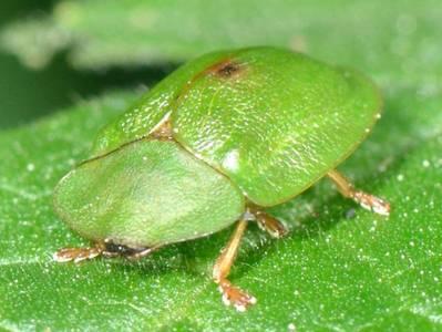 Cassida viridis [Famille : Chrysomelidae]