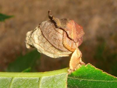 Attelabus nitens [Famille : Attelabidae]
