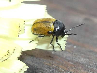 Cryptocephalus rugicollis [Famille : Chrysomelidae]