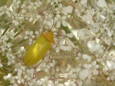 Cteniopus sulphureus [Famille : Tenebrionidae]