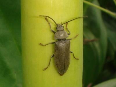 Dascillus cervinus [Famille : Dascillidae]