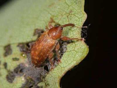 Dorytomus tortrix [Famille : Curculionidae]