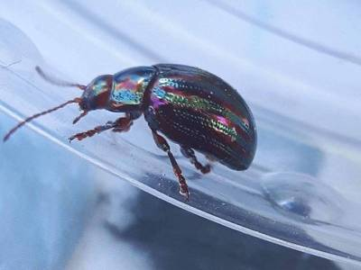 Chrysolina americana [Famille : Chrysomelidae]
