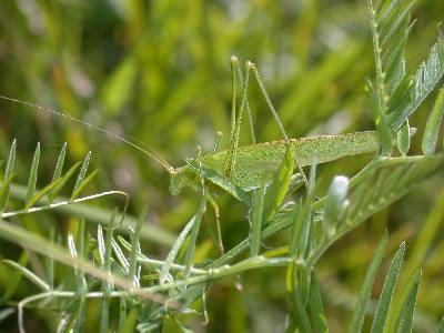 Phaneroptera falcata [Famille : Tettigoniidae]