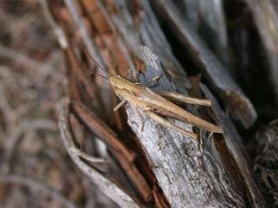 Chorthippus brunneus [Famille : Acrididae]