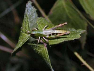Chorthippus parallelus [Famille : Acrididae]