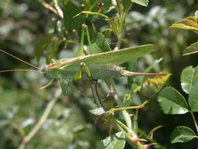 Tettigonia viridissima [Famille : Tettigoniidae]