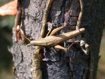 Chrysocraon dispar [Famille : Acrididae]