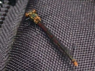 Pyrrhosoma nymphula [Famille : Platycnemididae]