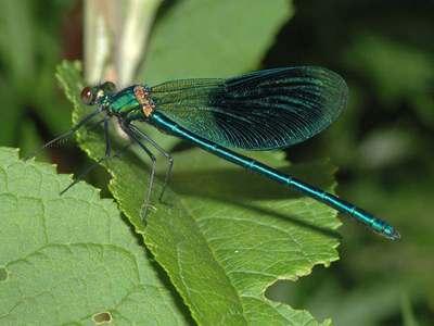 Calopteryx splendens [Famille : Calopterygidae]