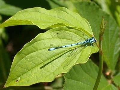 Coenagrion puella [Famille : Coenagrionidae]