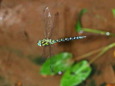 Aeshna cyanea [Famille : Aeshnidae]