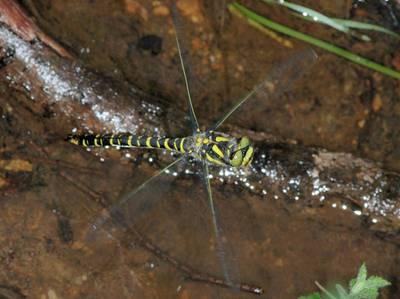 Cordulegaster boltonii [Famille : Cordulegastridae]