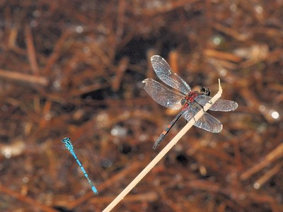Leucorrhinia dubia [Famille : Libellulidae]