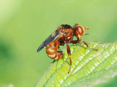 Sicus ferrugineus [Famille : Conopidae]