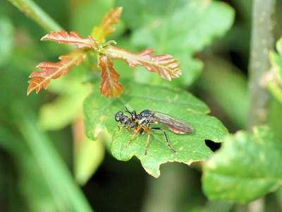 Dioctria rufipes [Famille : Asilidae]