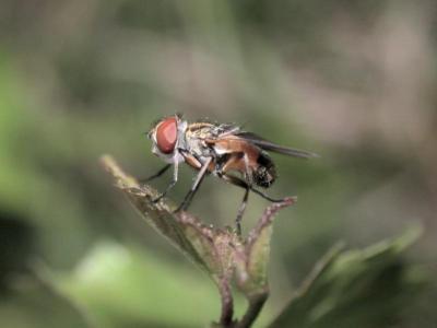 Ectophasia crassipennis [Famille : Tachinidae]