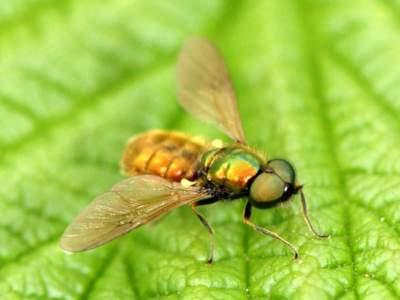 Chloromyia formosa [Famille : Stratiomyiidae]