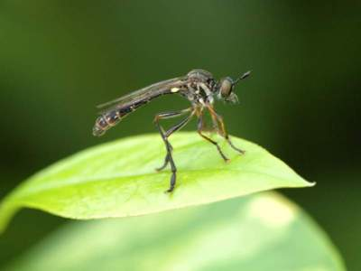Dioctria hyalipennis [Famille : Asilidae]