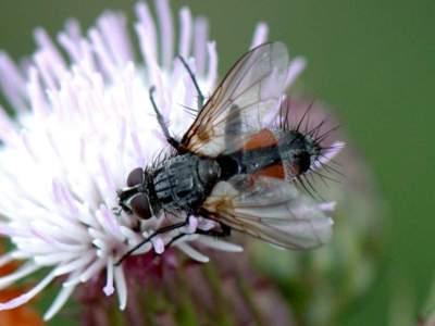 Eriothrix rufomaculata [Famille : Tachinidae]