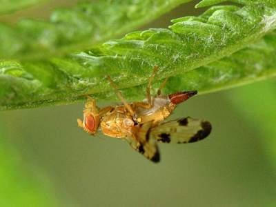 Xyphosia miliaria [Famille : Tephritidae]