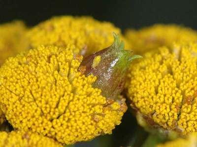Rhopalomyia tanaceticola [Famille : Cecidomyiidae]