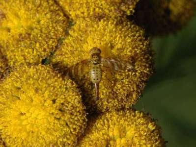 Chaetostomella cylindrica [Famille : Tephritidae]