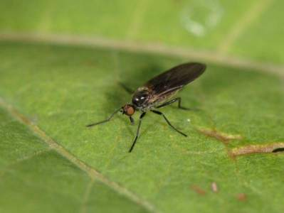Rhamphomyia erythrophthalma [Famille : Empididae]