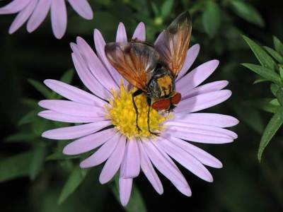 Phasia aurigera [Famille : Tachinidae]
