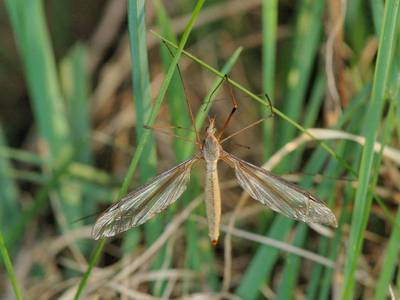 Tipula oleracea [Famille : Tipulidae]