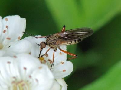 Empis opaca [Famille : Empididae]