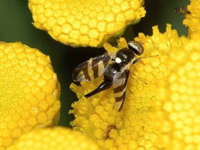 Urophora quadrifasciata [Famille : Tephritidae]